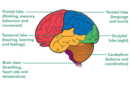 The human brain – what it is and what it does   Age UK