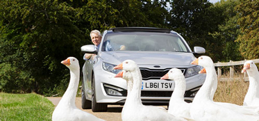 Swans in front of car