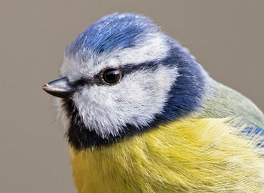 An image of a blue tit.