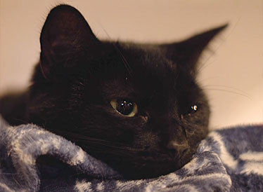 A black cat lying on a blanket