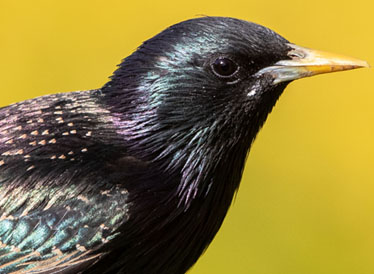 A close up image of a starling.